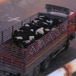 livestock vessel